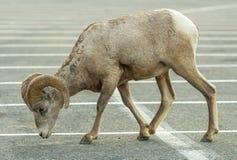 Bighorn Sheep Glacier National Park Stock Image