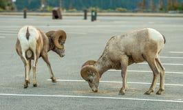 Bighorn Sheep Glacier National Park Stock Photography