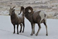 Bighorn sheep in Grand Teton National Park Winter. Ram and Ewe Stock Photography