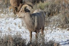 Bighorn sheep in Grand Teton National Park Winter. Bighorn sheep in Grand Teton Naitonal Park in winter.  National Elk Refuge Stock Photo
