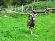 Bighorn sheep Stock Photography