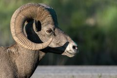 Bighorn Sheep Grazes At Sunset In Canada Royalty Free Stock Photography