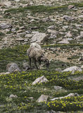 Bighorn sheep, grazing Stock Images