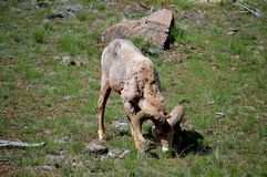 Bighorn Sheep Grazing Stock Photo