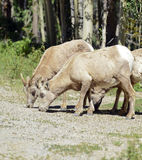 Bighorn sheep grazing together Stock Photo
