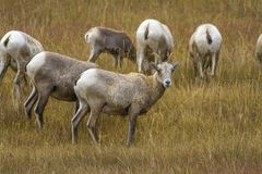 Bighorn sheep grazing in Wyoming meadow Royalty Free Stock Photography