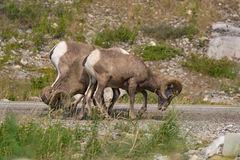 Bighorn Sheep on the Road royalty free stock images