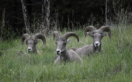 Bighorn Sheep group relaxing. A group of bighorn sheep relaxes in a field after eating, in the Rocky Mountains in Canada Stock Photo