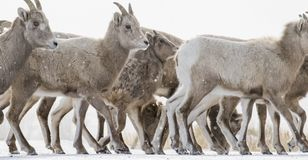 Bighorn sheep herd crossing from ground level and many hooves stock image