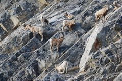 Bighorn Sheep herd on a rocky slope Royalty Free Stock Image