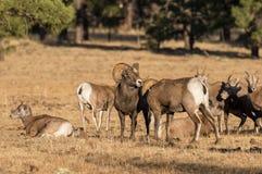 Bighorn Sheep Herd in Rut Stock Images