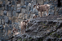 Bighorn sheep herd Stock Photography