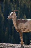 Bighorn Sheep, Icefields Parkway, Canada Royalty Free Stock Photos