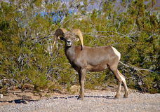 Bighorn Sheep Royalty Free Stock Image