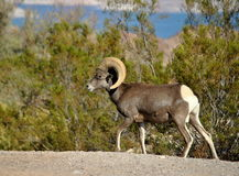 Bighorn Sheep Royalty Free Stock Photography