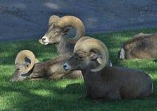 Bighorn Sheep Royalty Free Stock Photo