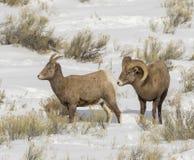BIGHORN SHEEP IN MEADOW STOCK IMAGE Stock Photo