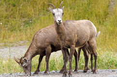 Bighorn Sheep in Jasper National Park Stock Image