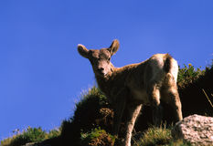 Bighorn Sheep Lamb Stock Photo