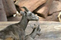 Bighorn sheep and lamb Stock Photos
