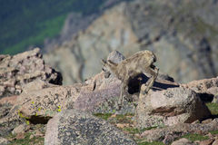 Bighorn Sheep Lamb in the Alpine Royalty Free Stock Photo