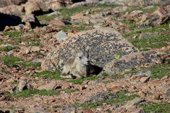 Bighorn Sheep Lamb Stock Image
