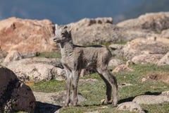 Bighorn Sheep Lamb Stock Images