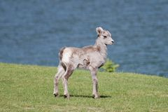 Bighorn Sheep lamb on grass by Lakeshore Stock Photo