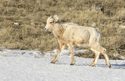 Bighorn sheep lamb in snow on National Elk Refuge in winter Stock Image