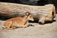 Bighorn sheep laying on the ground. Next to a tree log Stock Photography