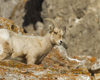 Bighorn sheep on Lichen covered rocks. Royalty Free Stock Photo