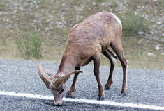 Bighorn sheep licking asphalt stock photos