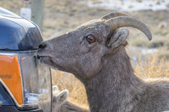 Bighorn sheep licking salt off car or truck to supplement diet w Stock Images