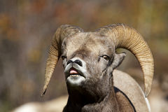 Bighorn Sheep Lip Curl Royalty Free Stock Image