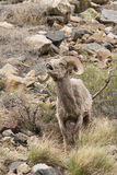 Bighorn Sheep Lip Curling. In Rocky Mountains Royalty Free Stock Image