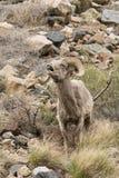 Bighorn Sheep Lip Curling Royalty Free Stock Image
