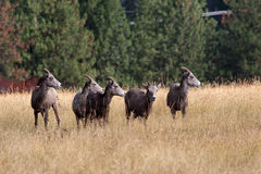 Bighorn sheep looing left. Royalty Free Stock Image