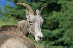 Bighorn Sheep Looking Around at Camera Stock Photography