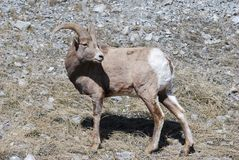 Bighorn Sheep looking behind Stock Photo