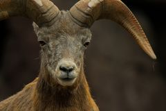 Bighorn sheep looking into the camera royalty free stock image