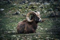Bighorn sheep lying on the ground