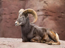 Bighorn sheep lying on a rock Stock Images