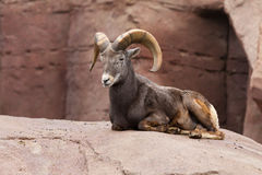 Bighorn sheep lying on a rock Stock Photo
