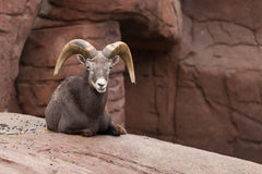 Bighorn sheep lying on a rock Stock Image