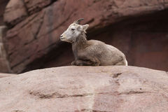 Bighorn sheep lying on a rock Royalty Free Stock Images