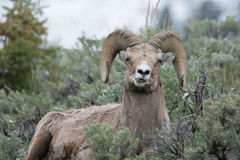 Bighorn Sheep Making Funny Face in Yellowstone National Park. A bighorn sheep makes a funny face in Yellowstone National Park stock photo