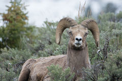 Bighorn Sheep Making Funny Face in Yellowstone National Park. A bighorn sheep makes a funny face in Yellowstone National Park royalty free stock images