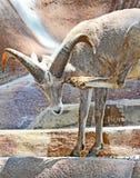Bighorn Sheep. Male Mountain Sheep Scratching Head Stock Image