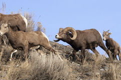 Herd Of Bighorn Sheep Royalty Free Stock Images