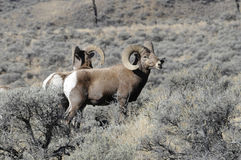 Bighorn Sheep In The Sage Stock Photos